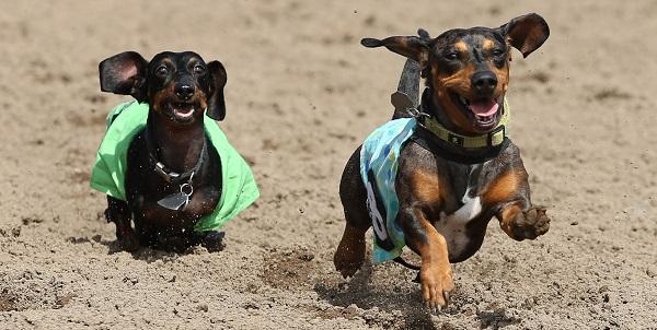 Weiner Dog Wars -  9-7-15 - CBY - 010
