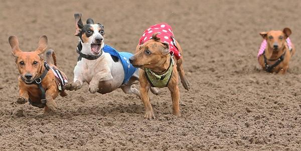 Wiener Dog Wars 9-5-16 004